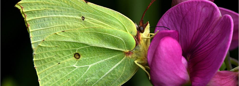 12 Brimstone butterfly feeding