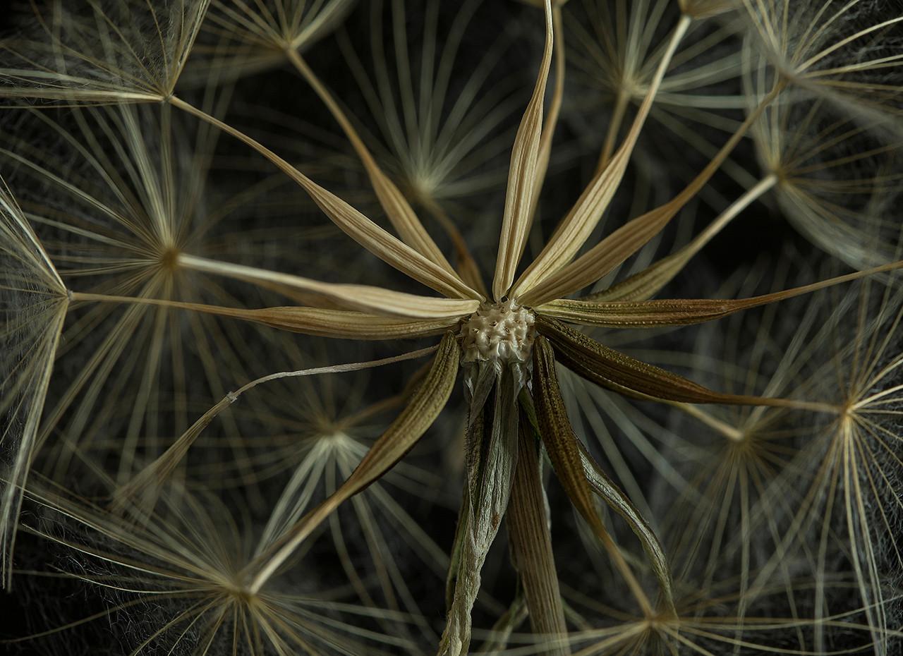 03 salsify seed head