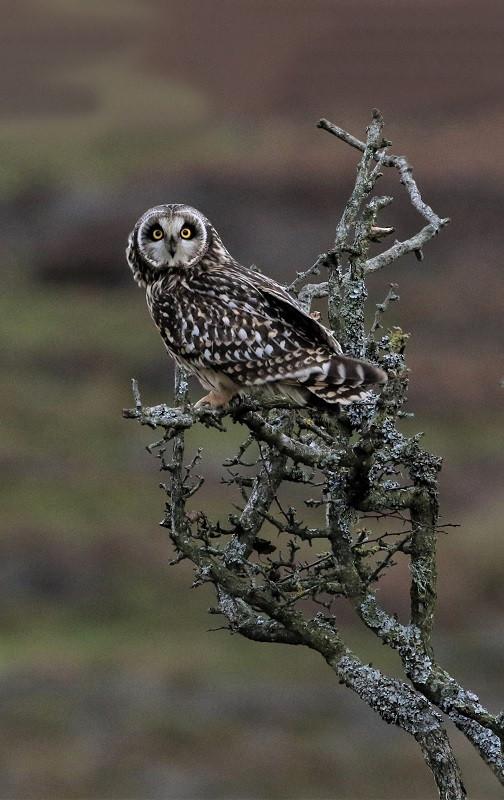 17 Short-eared owl.jpg
