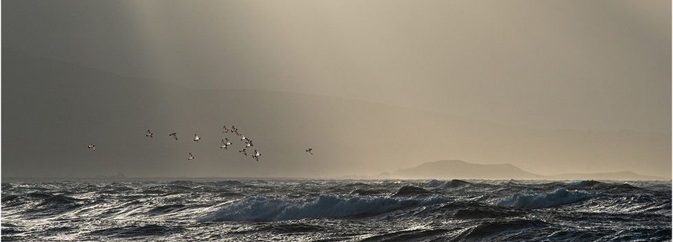 21 oystercatchers over winter sea.jpg