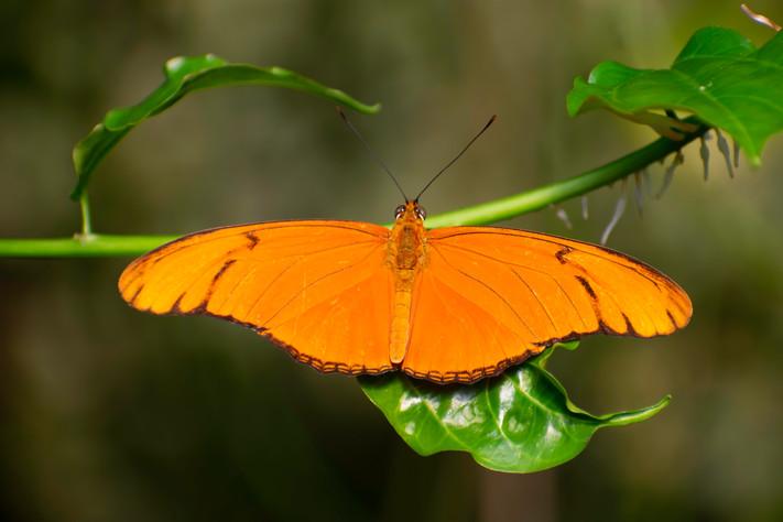 The Flambeau Butterfly: Caroline Hall
