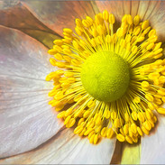 1st Dpi: Anemone Hupehensis