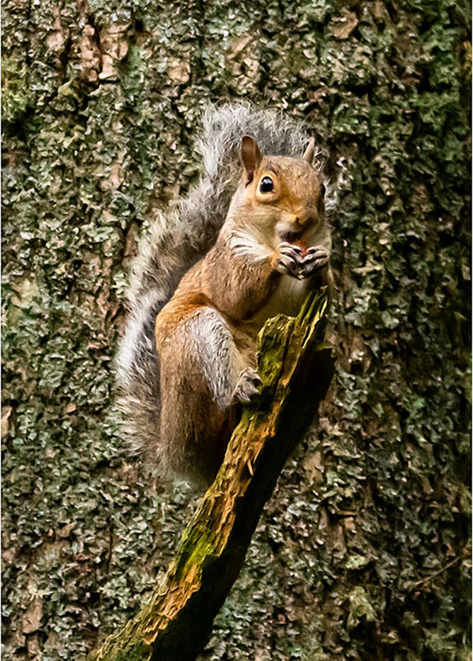 22 Grey Squirrel