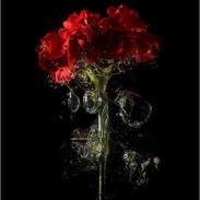 3rd: Open - Carnation Splash