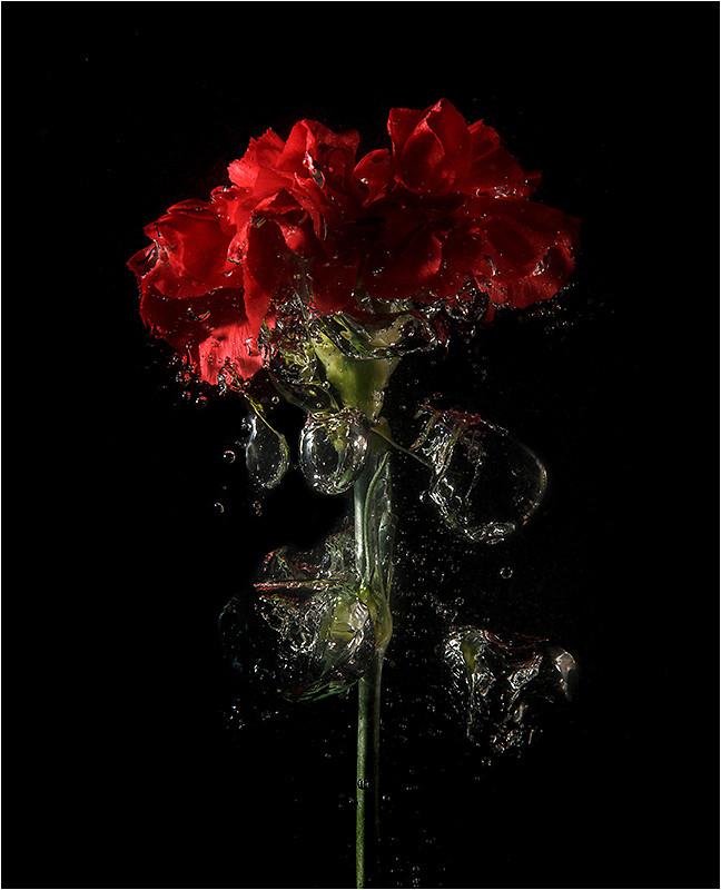 01 Carnation Splash