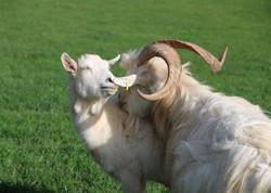 2. Gandalf the goat finds love (M)