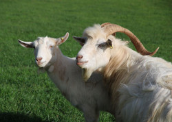 3. Gandalf the goat finds love (R)