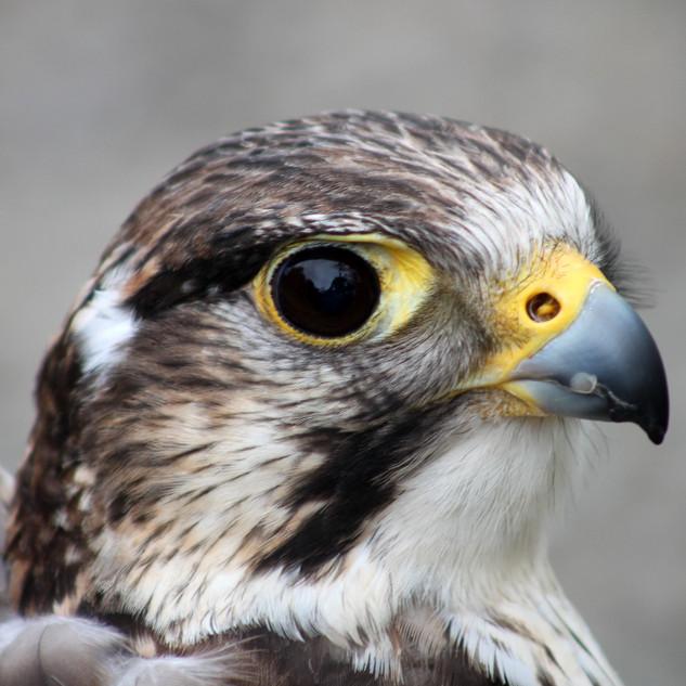 3rd Dpi: Face of a Falcon