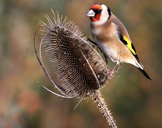 07 Goldfinch.JPG