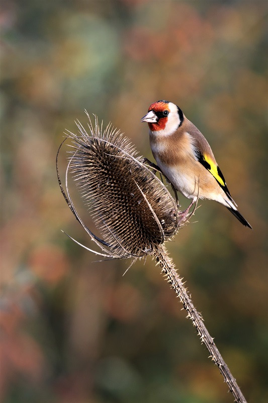 07 Goldfinch.JPG