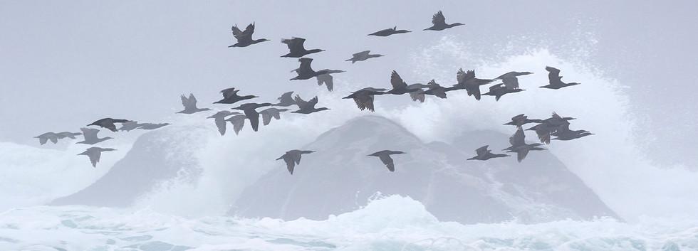 Cormorants in mist: Ron Parnell