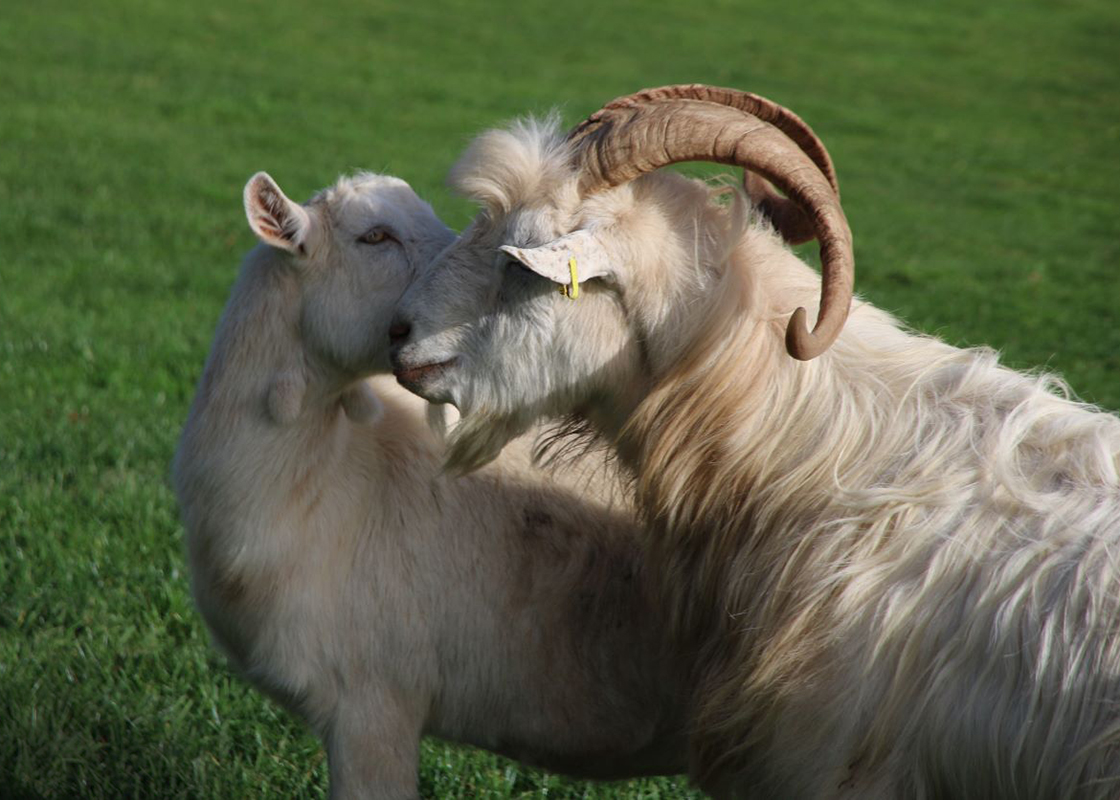 1.Gandalf the goat finds love (L)