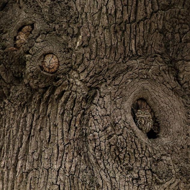 First: Little owl
