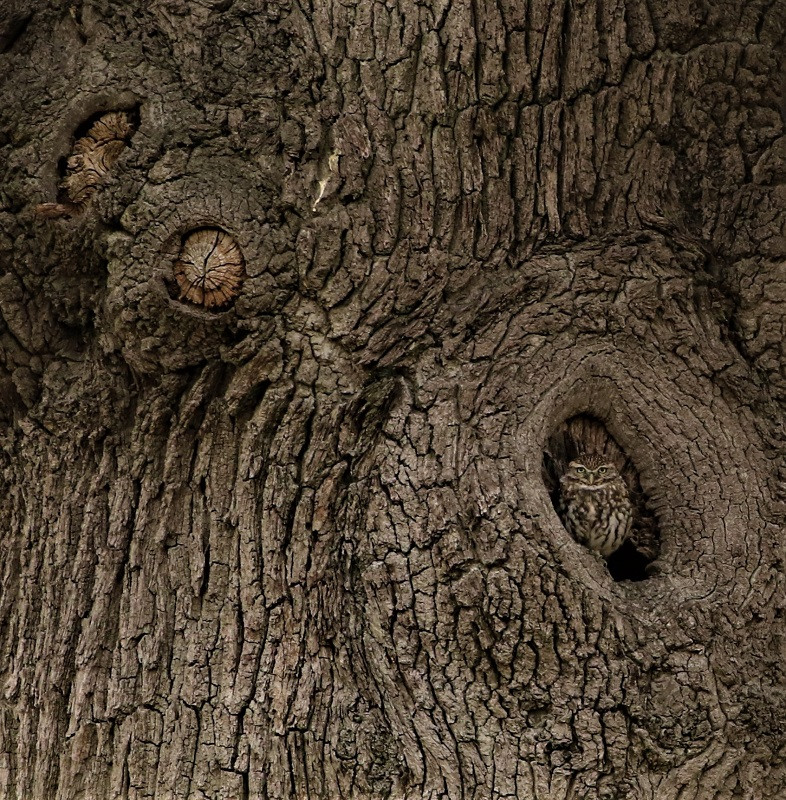 05 little owl