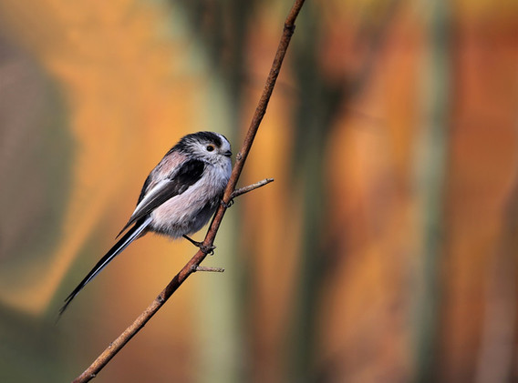 21 Long-tailed tit.