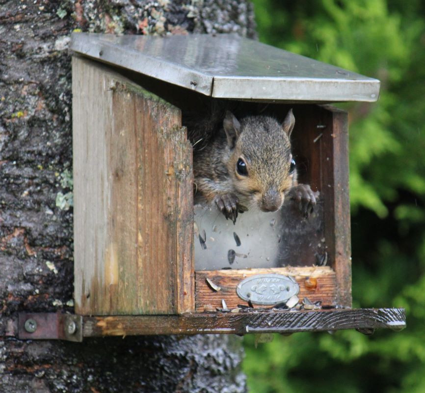 Grey squirrel: sheltering from rain