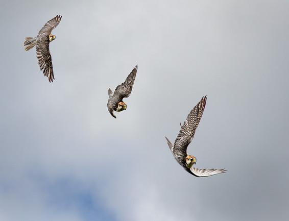 08 Falcon-flight.jpg