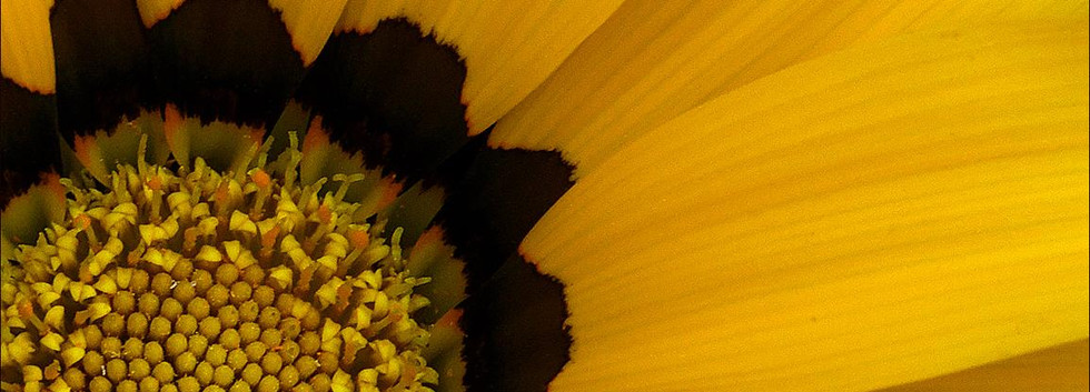 Gazania: Sunflower is not the only yellow