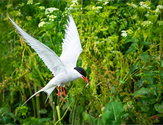 26 Arctic Tern.jpg
