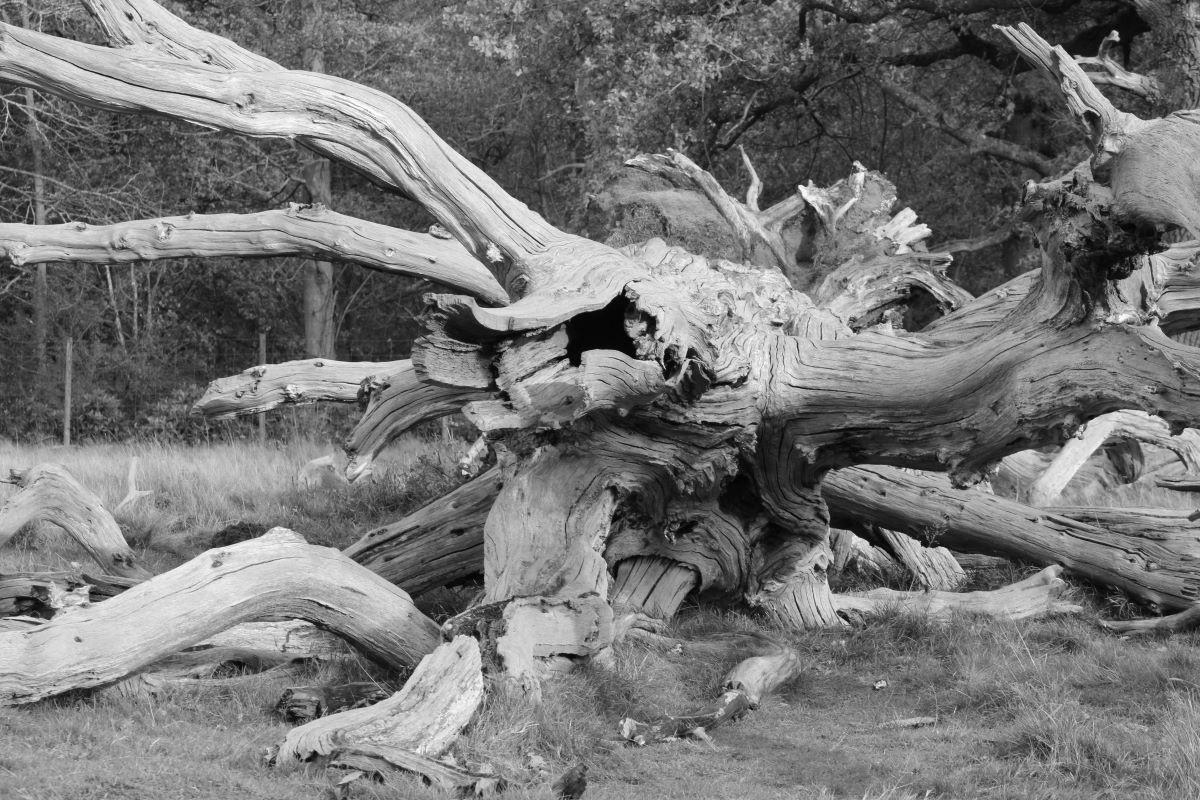 09 Fallen tree at Attingham Park.JPG