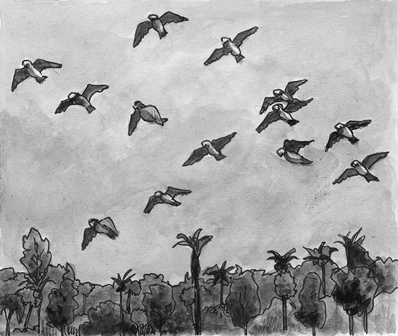 Flock of grey parrots
