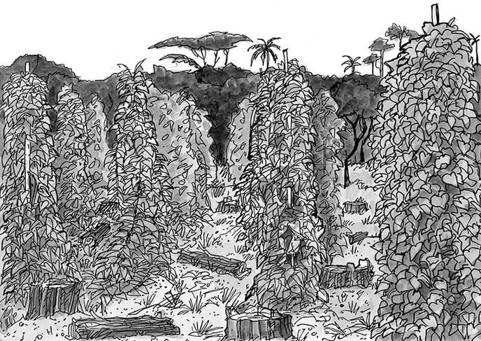 Field of yam vines