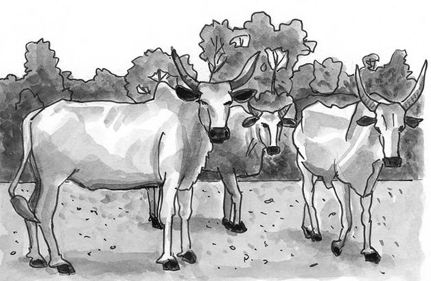 Cattle in the Kumasi market