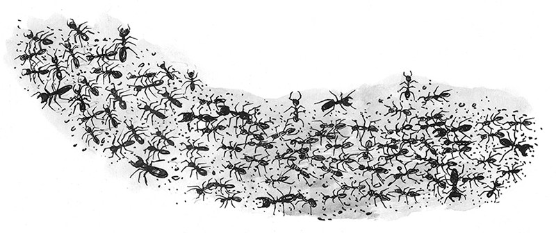 Column of driver ants