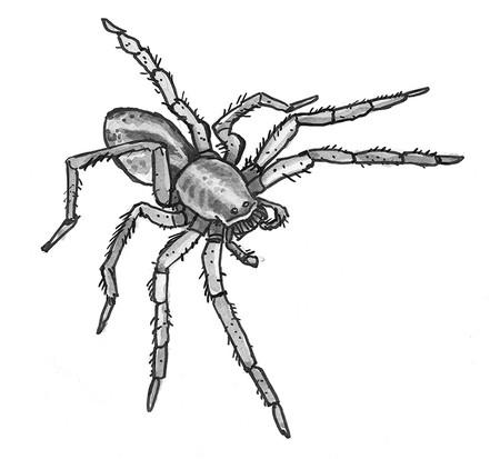 Rainforest tarantula