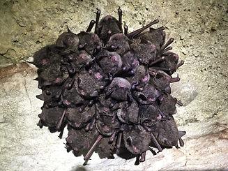 Cluster of hibernating Indiana bats (Myo