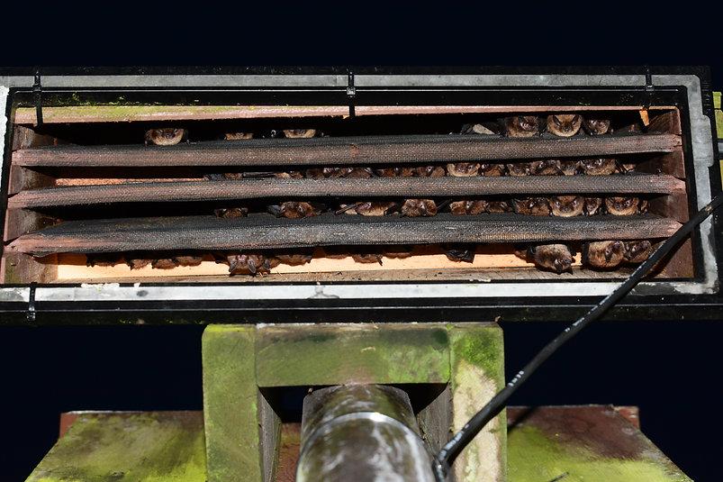 Batbox Newfoundland (Little brown bats)-