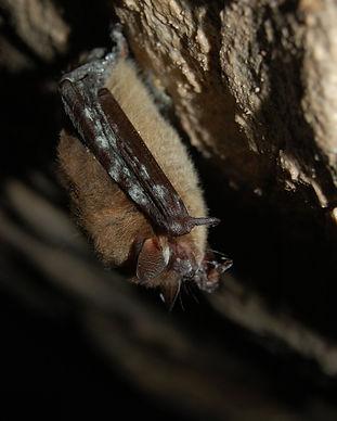 Bat WNS - by Jordi Segers.jpg