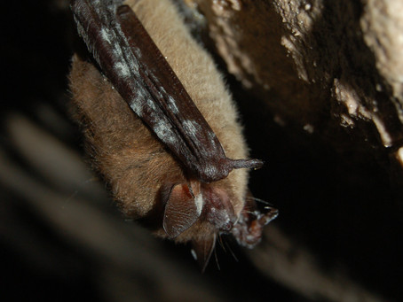 White-Nose Syndrome Killed Over 90% of Three North American Bat Species