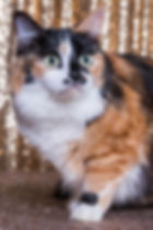 2017 Pet of the Year  Gabriella  Calico
