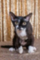 2017 Kitten of the Year  Taldi She Bangs