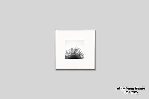 花の写真,ガーベラ,壁掛け,おしゃれ,アート,IGREBOW,インテリア,インテリアフォト,モノクロ,額入り,額装,正方形,オリジナルプリント,アートフレーム,フォトフレーム,モダン,壁飾り,装飾,プレゼント