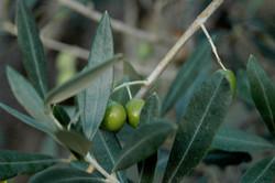 Oliven3