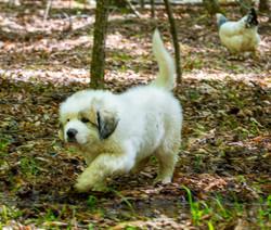 Puppy 20-3701