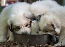 Puppy 18-3351
