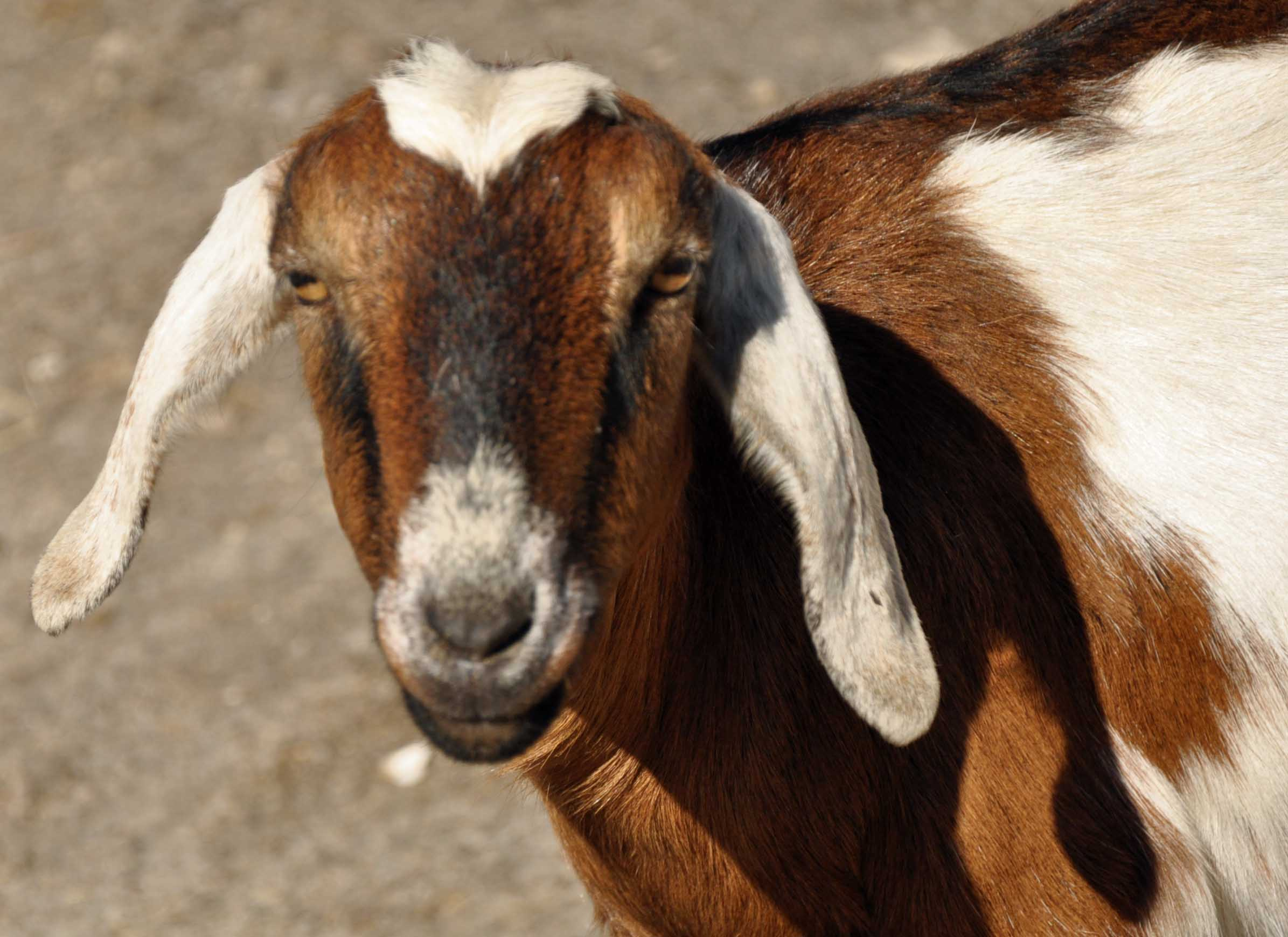 Goat - Long Ears.jpg
