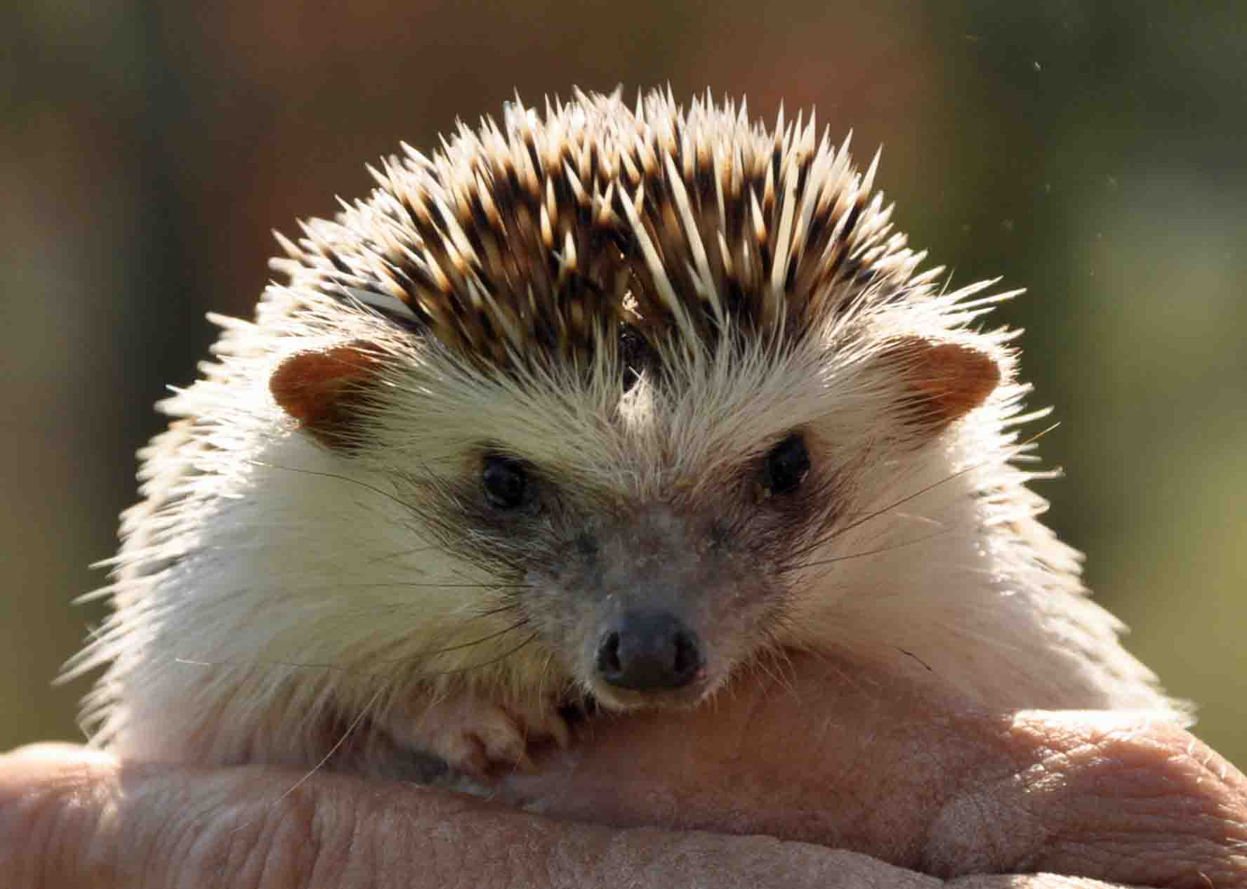 Hedgehog 1.jpg