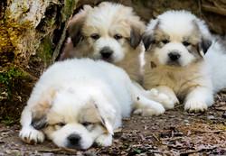Puppy 13-3311