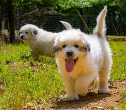 Puppy 11-3642