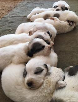 Puppies sleep - 2.5 weeks
