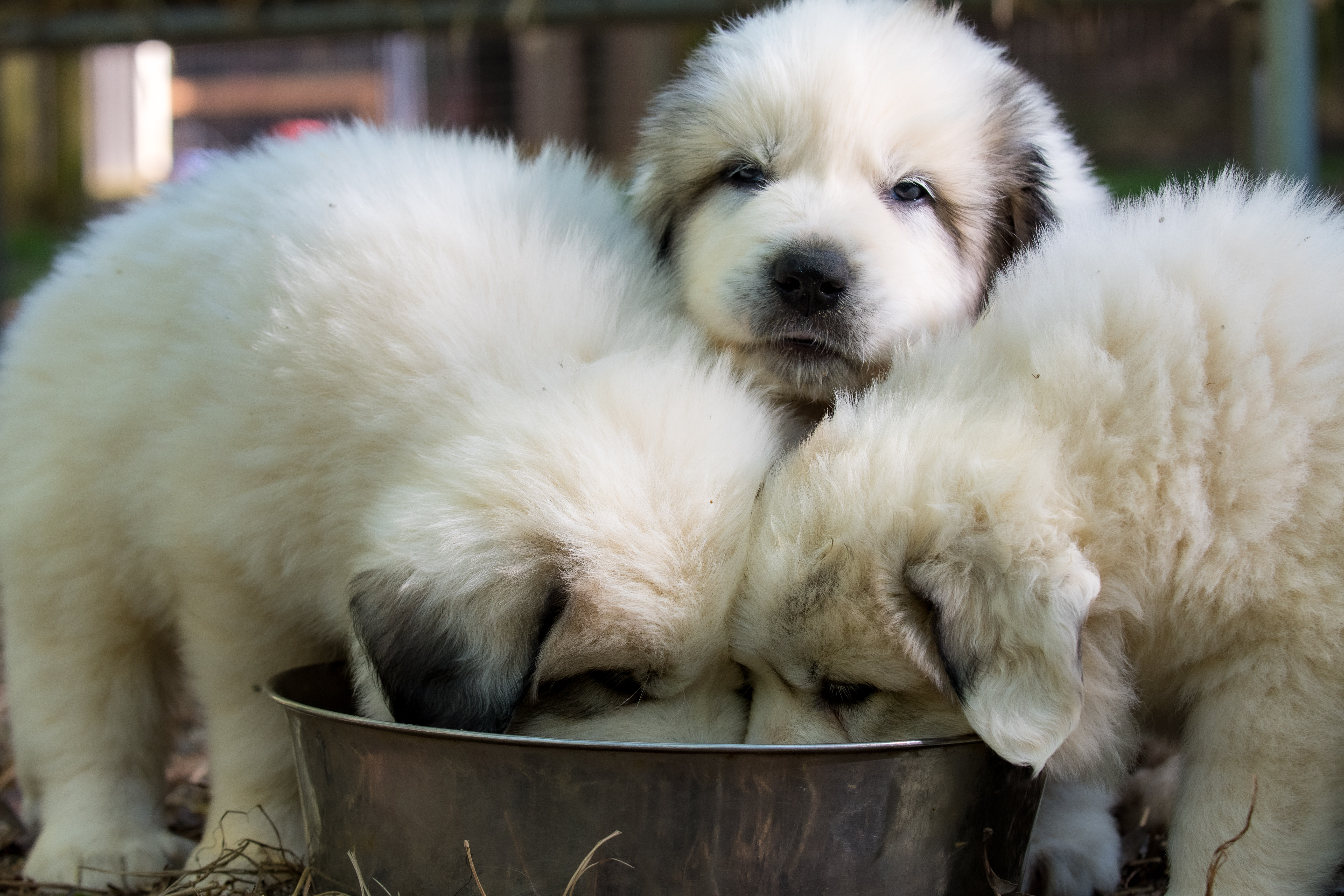 Puppy 19-3352