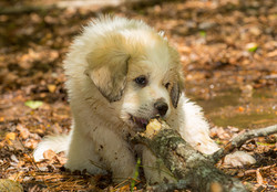Puppy 22-3712