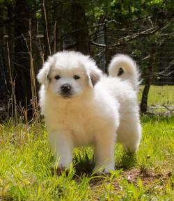 Puppy 12-3643