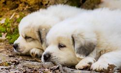 Puppy 15-3315