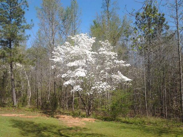 Dogwood Tree - March 2012