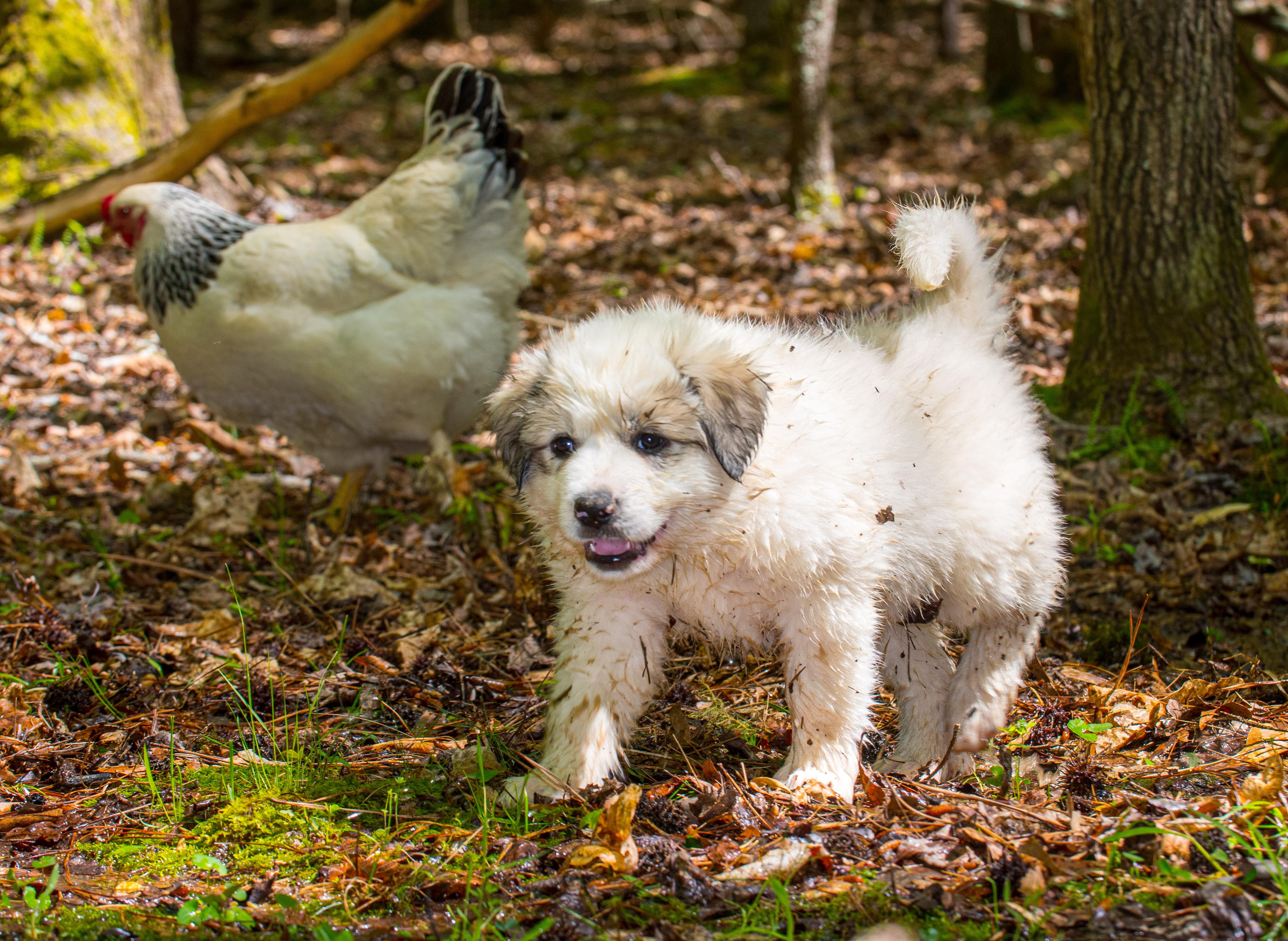 Puppy 19-3698